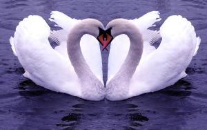 swan_11